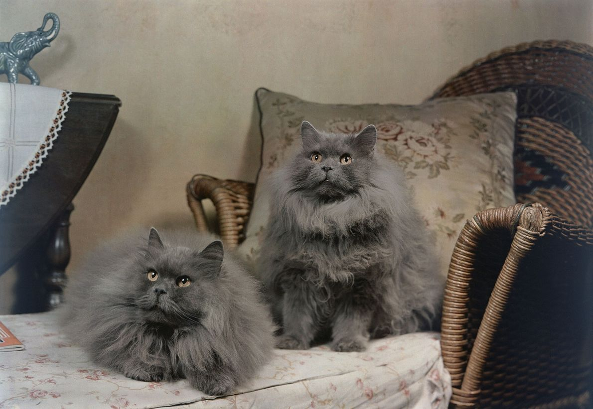 Gatos persas azules