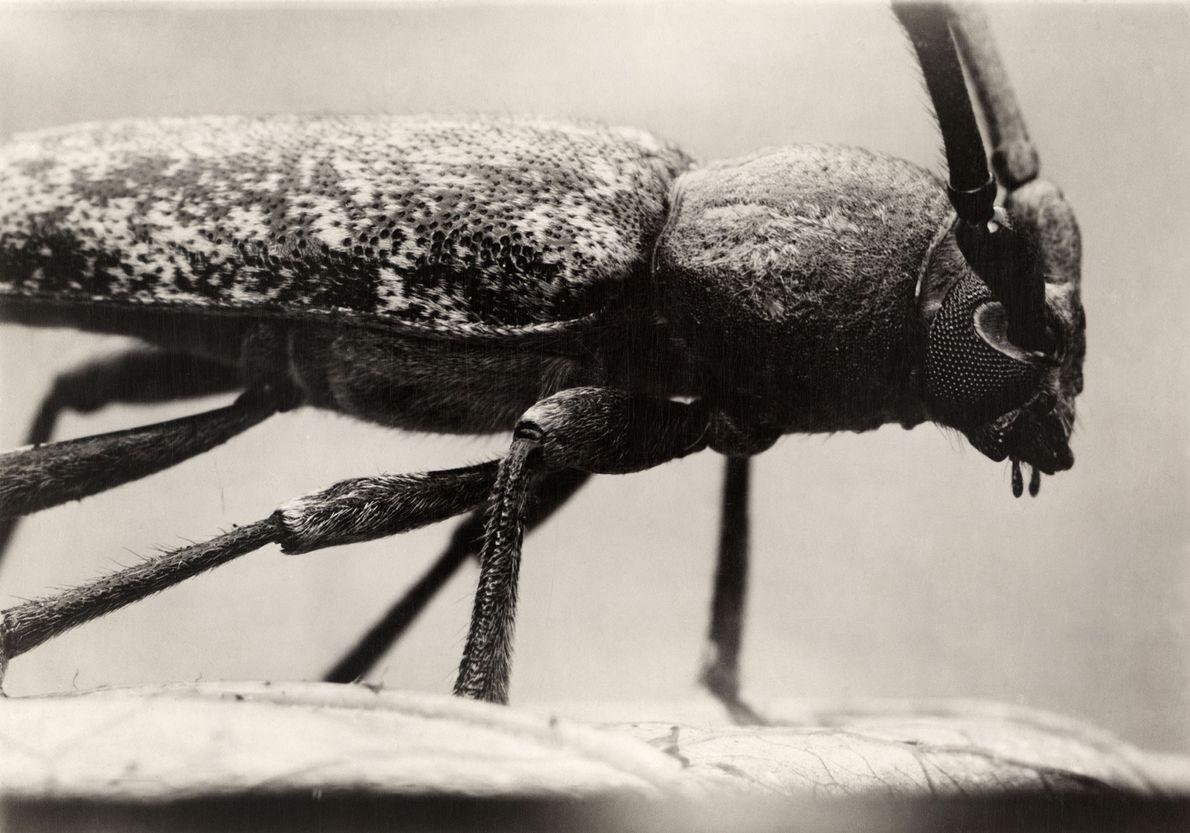 Escarabajo longicornio