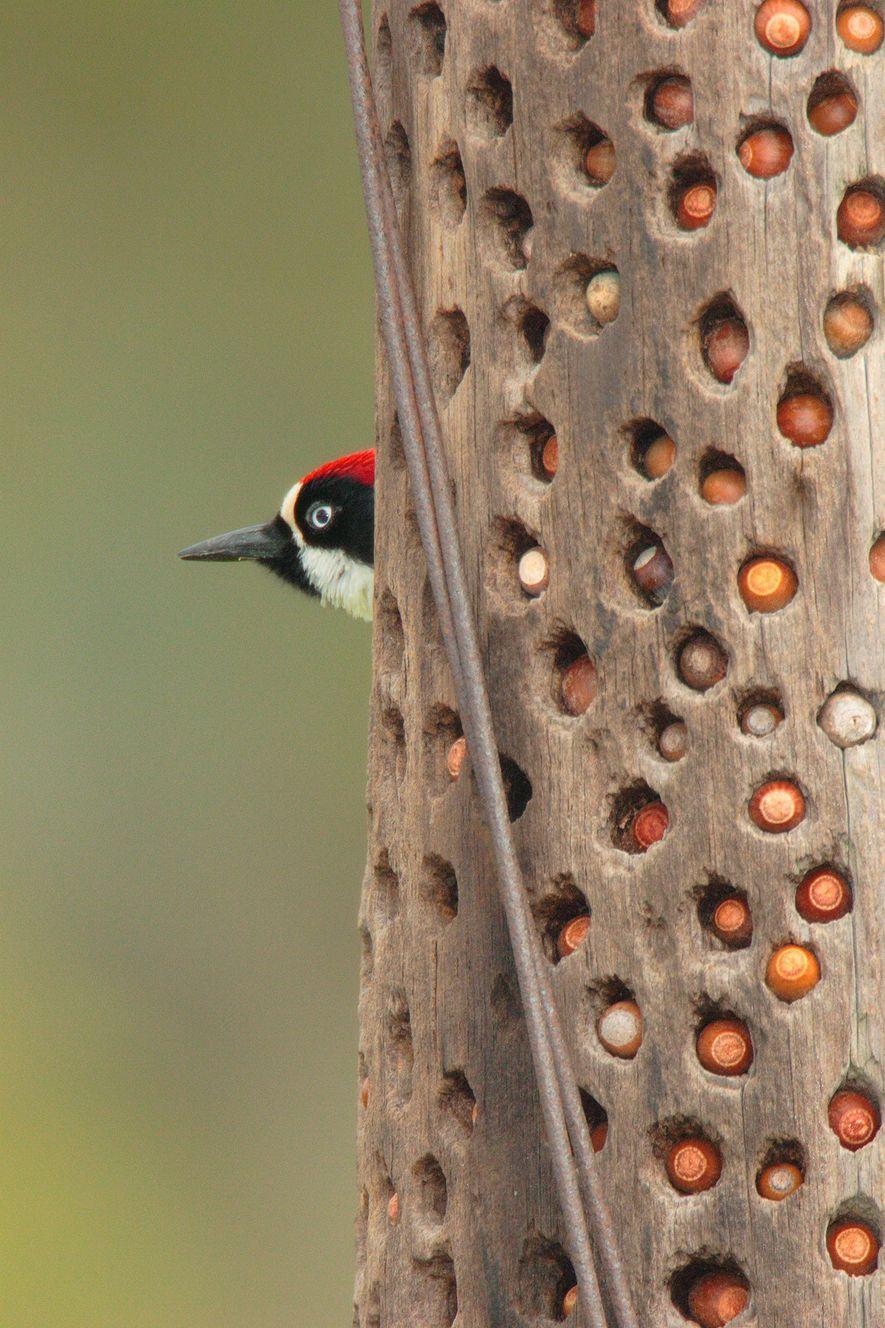 Un carpintero bellotero posa cerca de su almacén de bellotas. Las aves también pueden almacenar comida ...