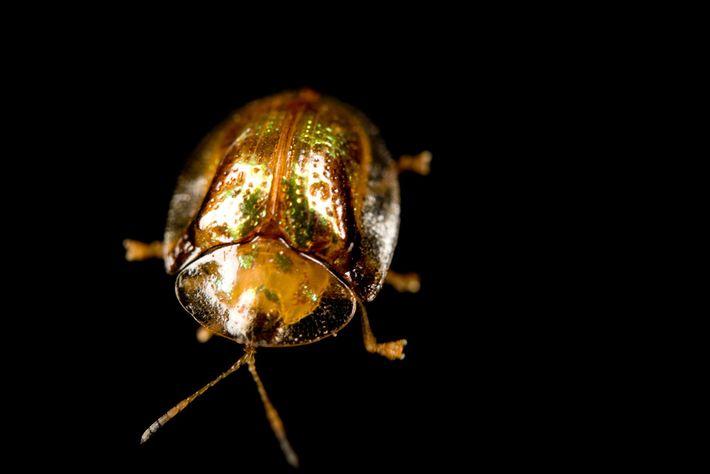 Escarabajo tortuga de oro
