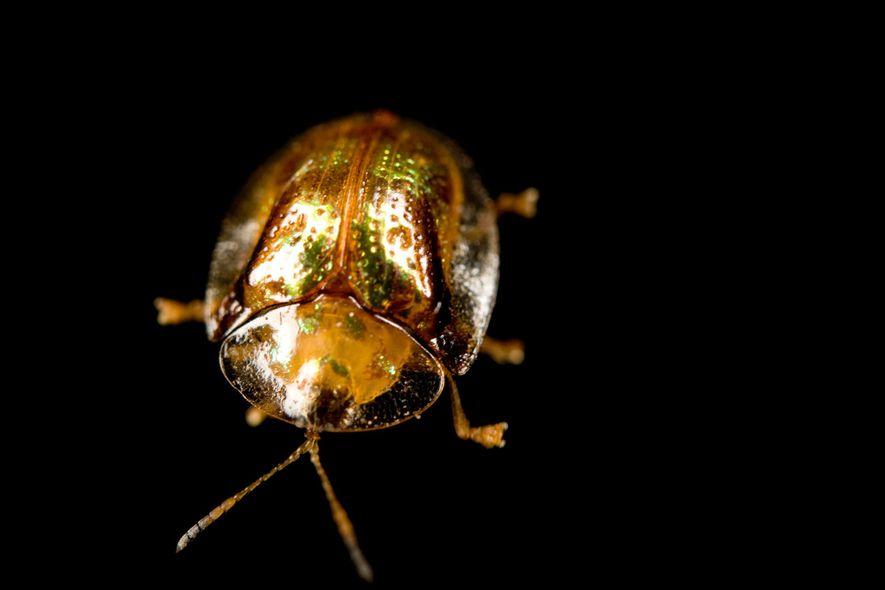 El escarabajo tortuga de oro es un progenitor sorprendentemente atento con sus crías.
