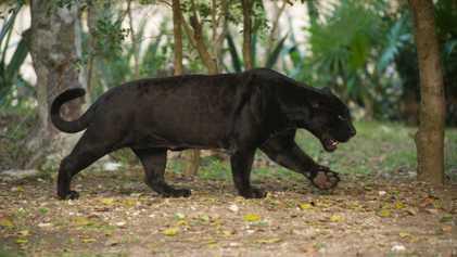 Jaguares y leopardos