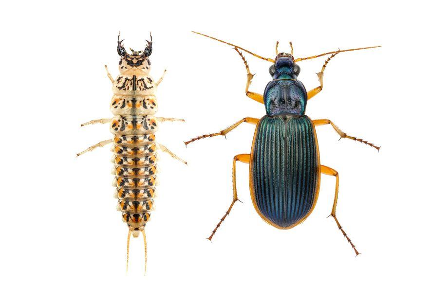 Las larvas del carábido (Epomis circumscriptus, adulto (derecha) y larva) absorben la sangre y el tejido ...