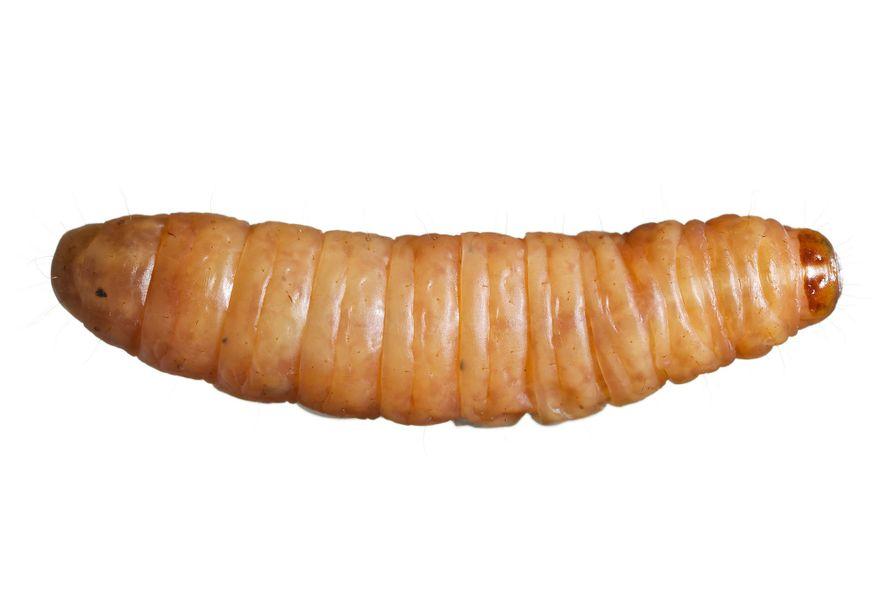 Un ejemplar de gusano de la cera