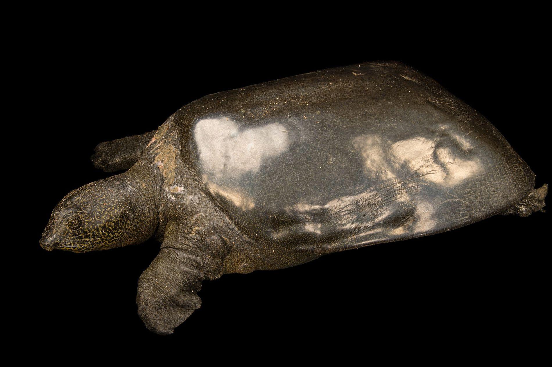 Tortuga de caparazón blando del Yangtsé