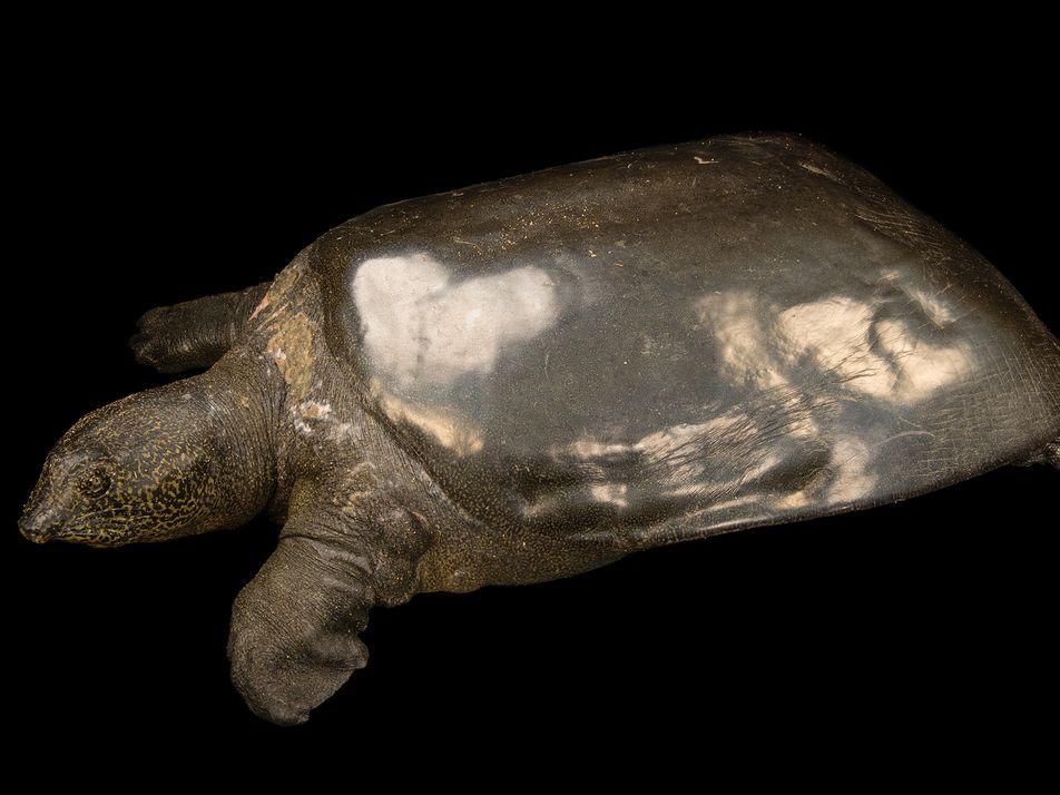 La mayor tortuga de agua dulce se acerca a la extinción, pero los científicos no se ...