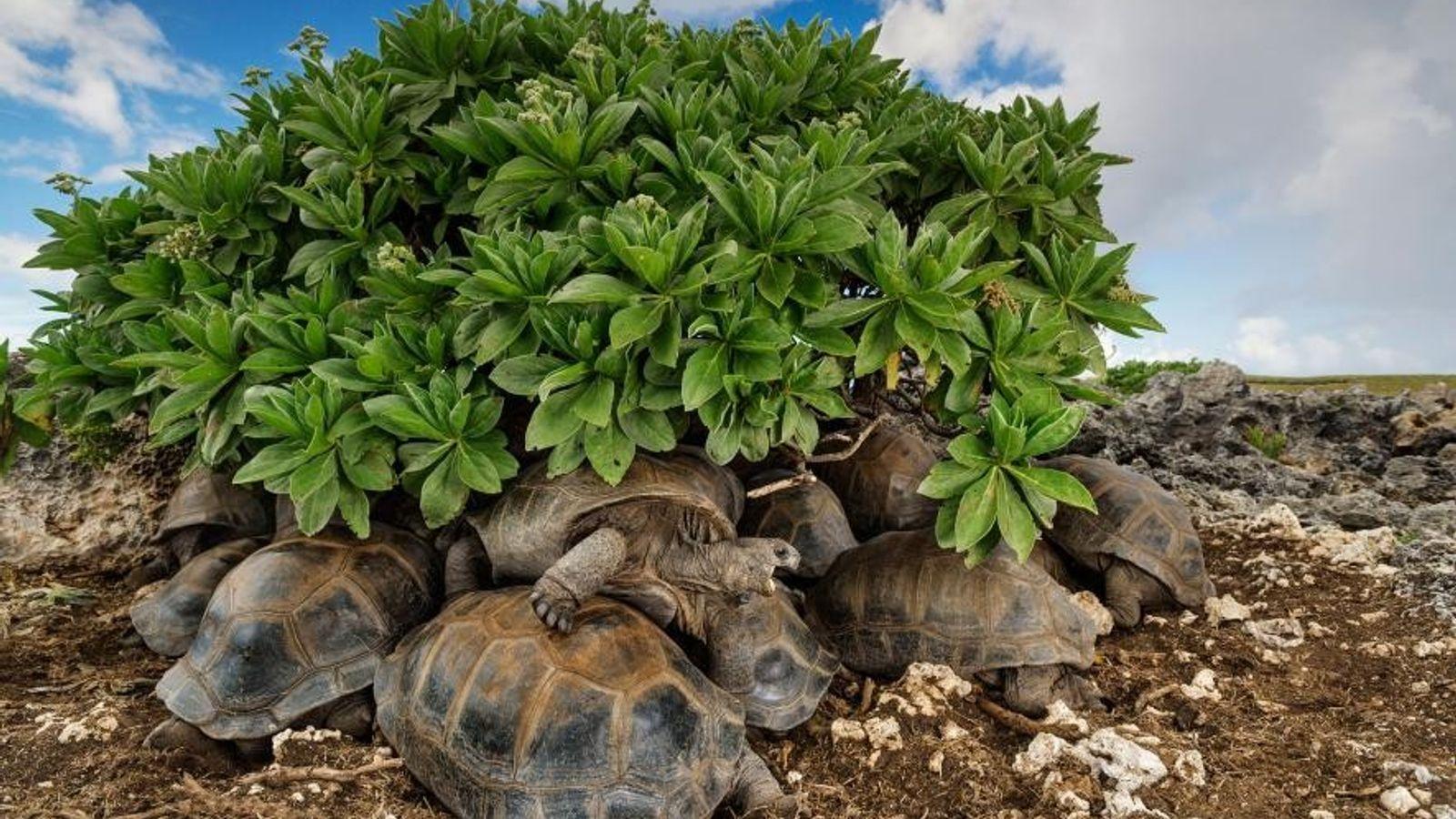 Tortugas del Aldabra