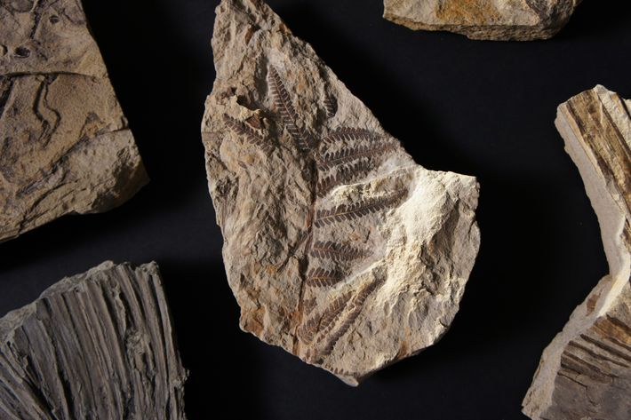 Helecho fosilizado