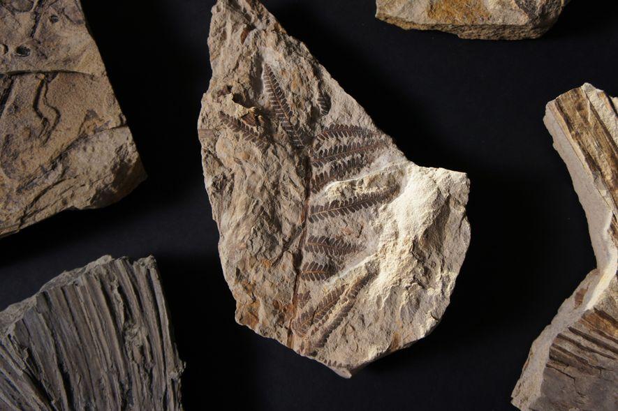 Este helecho figura entre las 6000 hojas fosilizadas halladas en Corral Bluffs que ayudan a los ...