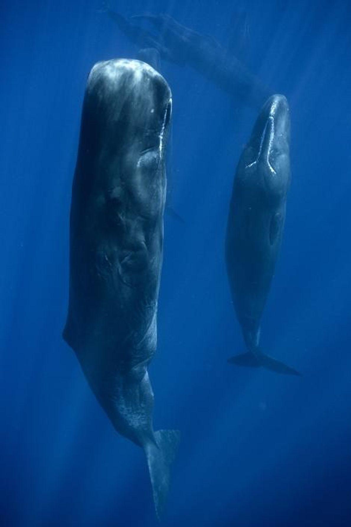 Cachalotes de cerca
