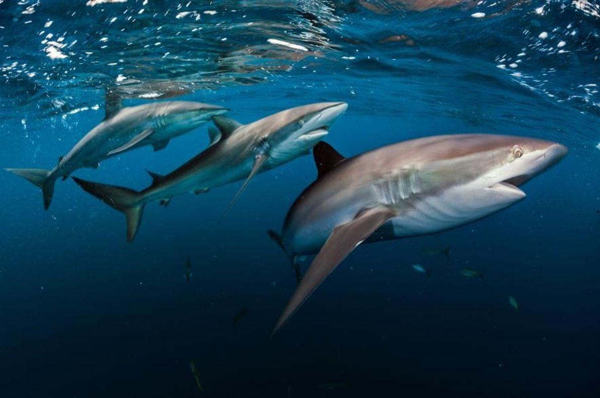 Tres tiburones lustrosos