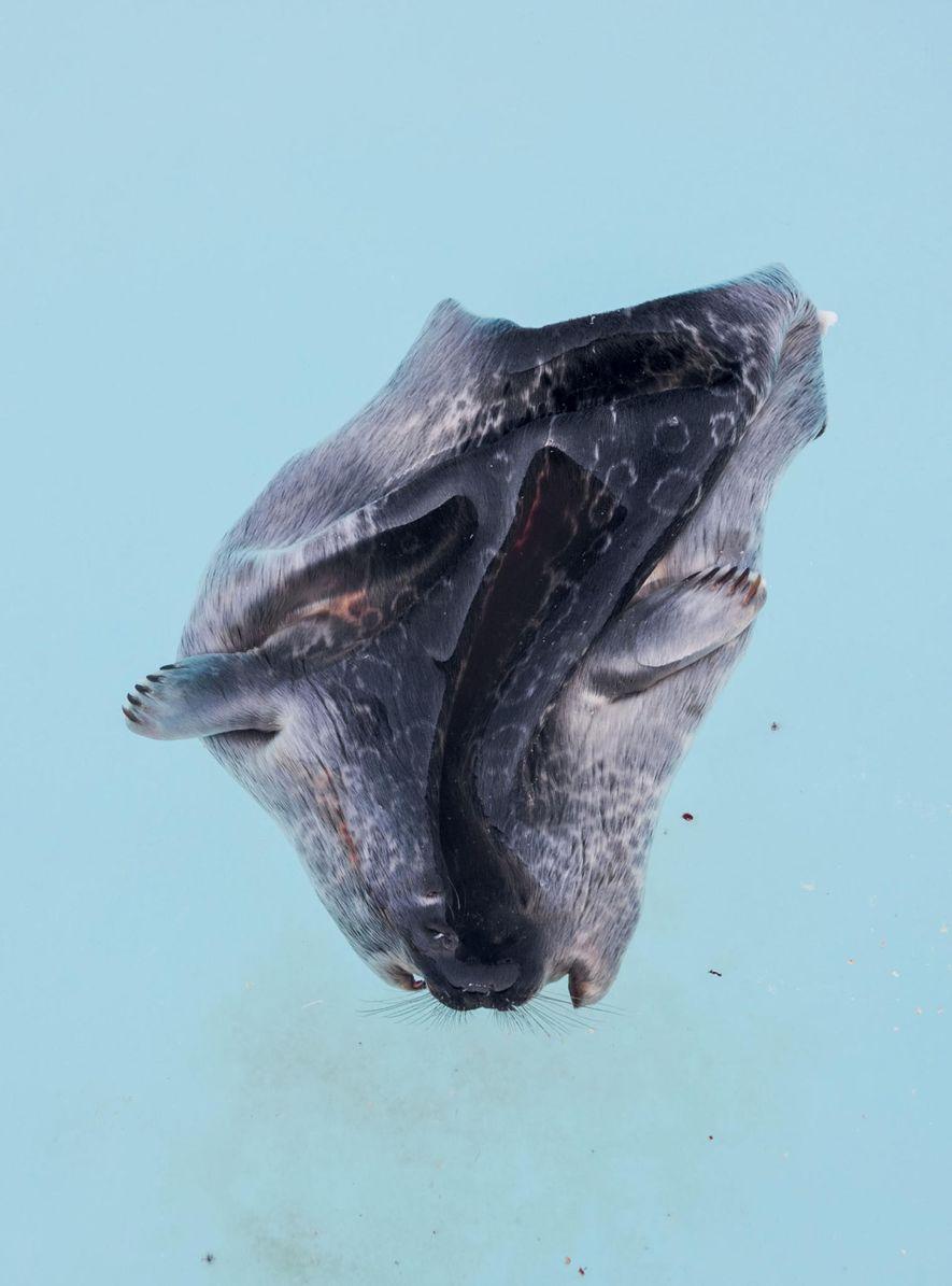 La caza de focas es una parte fundamental de la vida de los inuits. Las pieles, ...