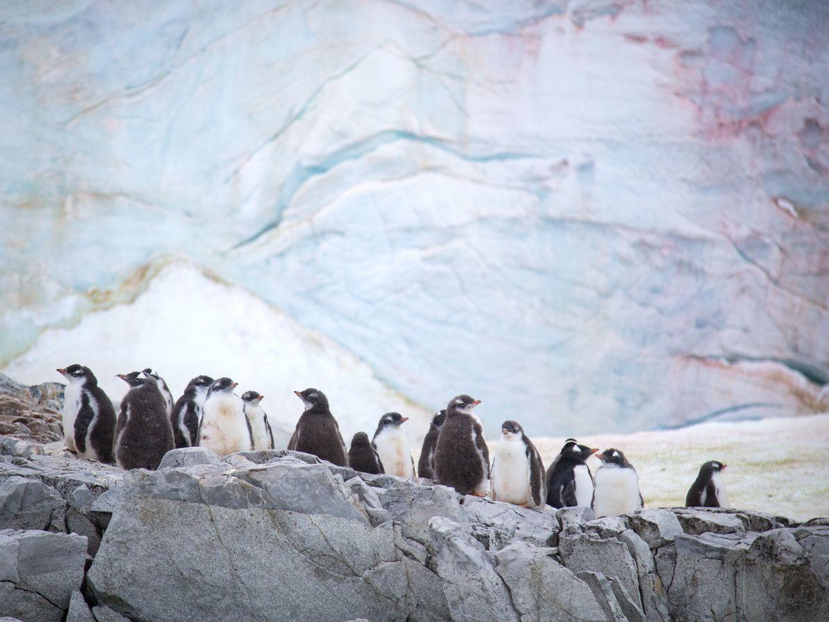 Crías de pingüinos papúa