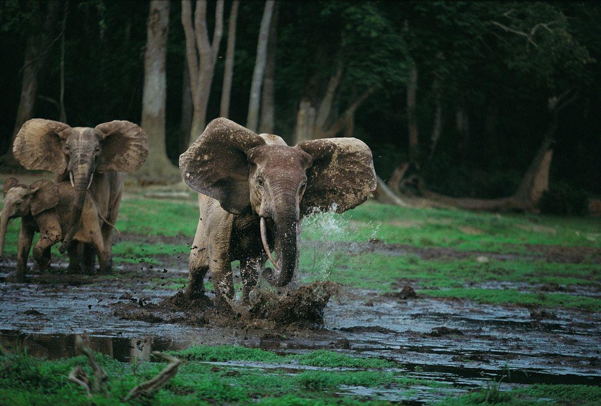 Elefantes corriendo por el barro