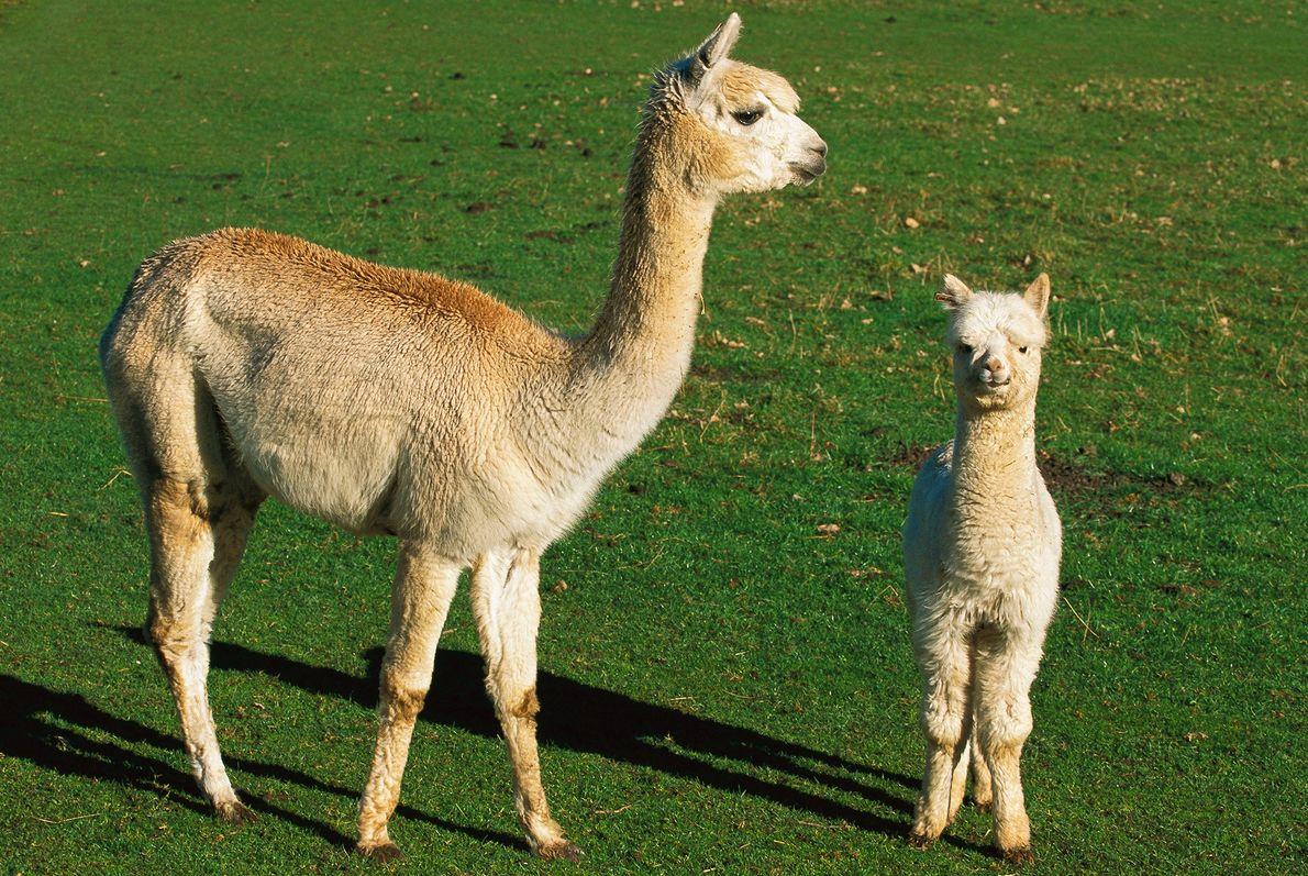 Una alpaca Huacaya y su cría