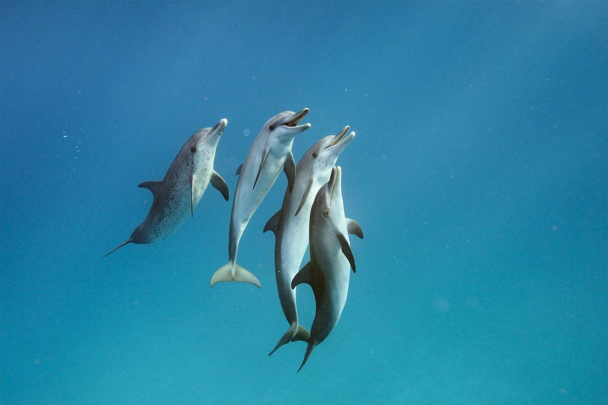 Delfines pintados