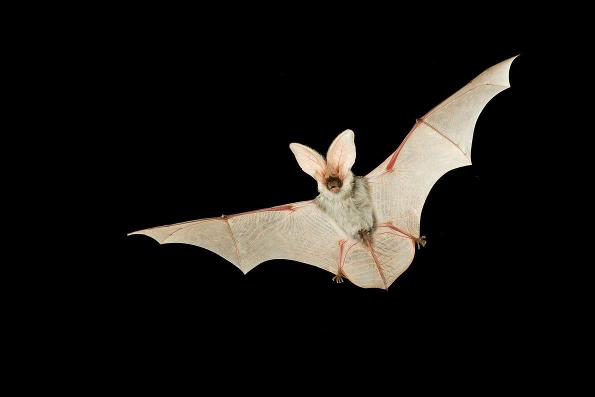 Un murciélago pinto