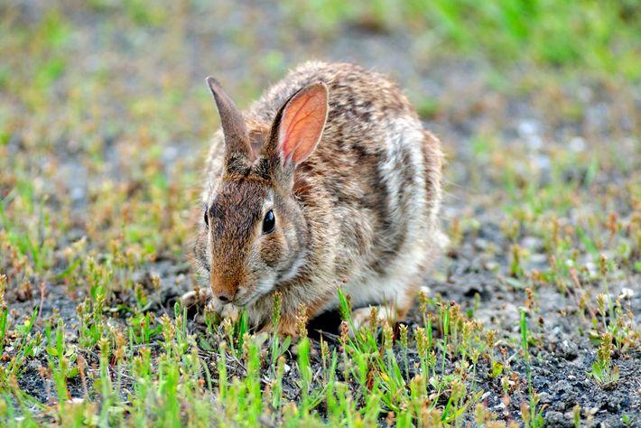 Un conejo de Florida
