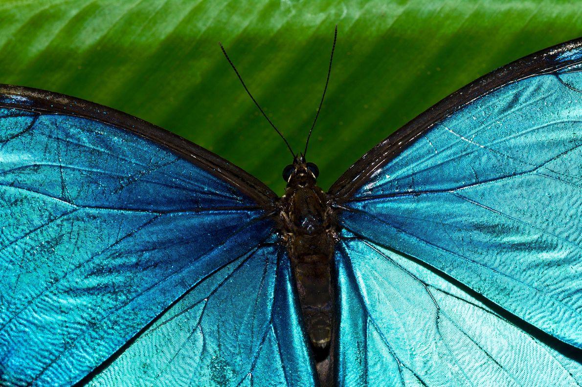 Mariposa morfo azul