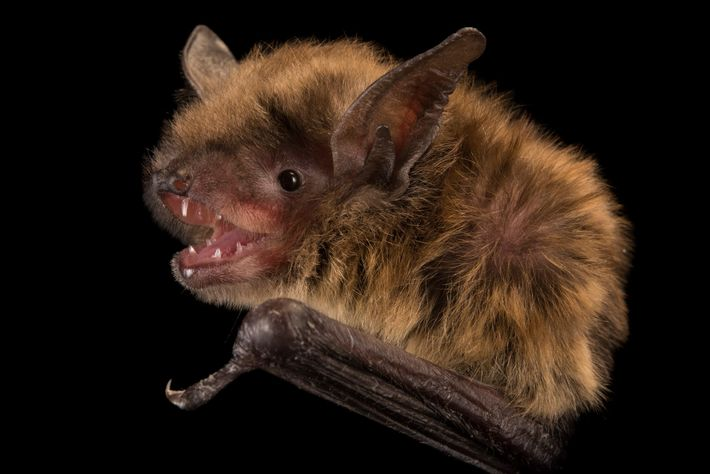 Un pequeño murciélago café