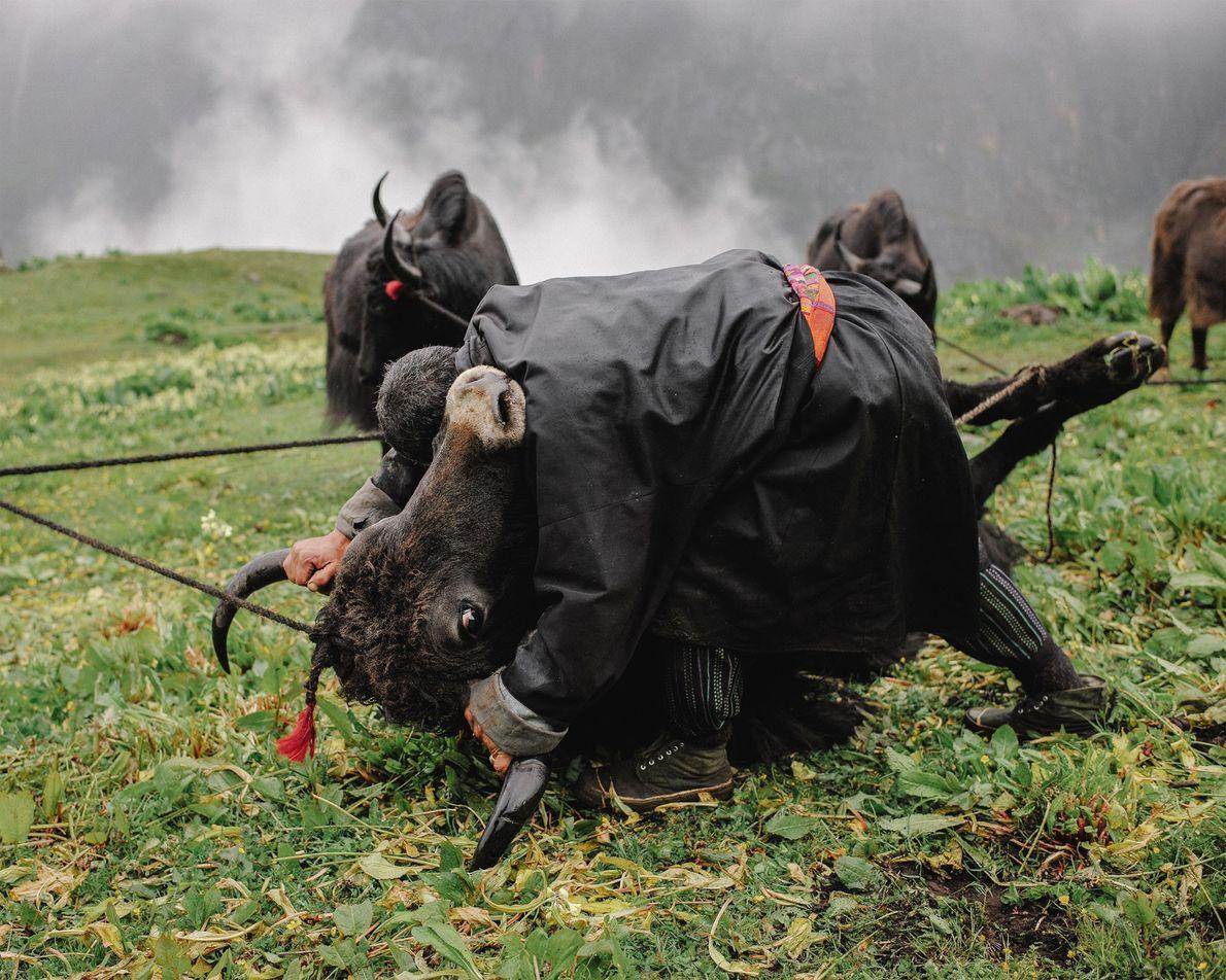 Tshering, pastor nómada de yaks