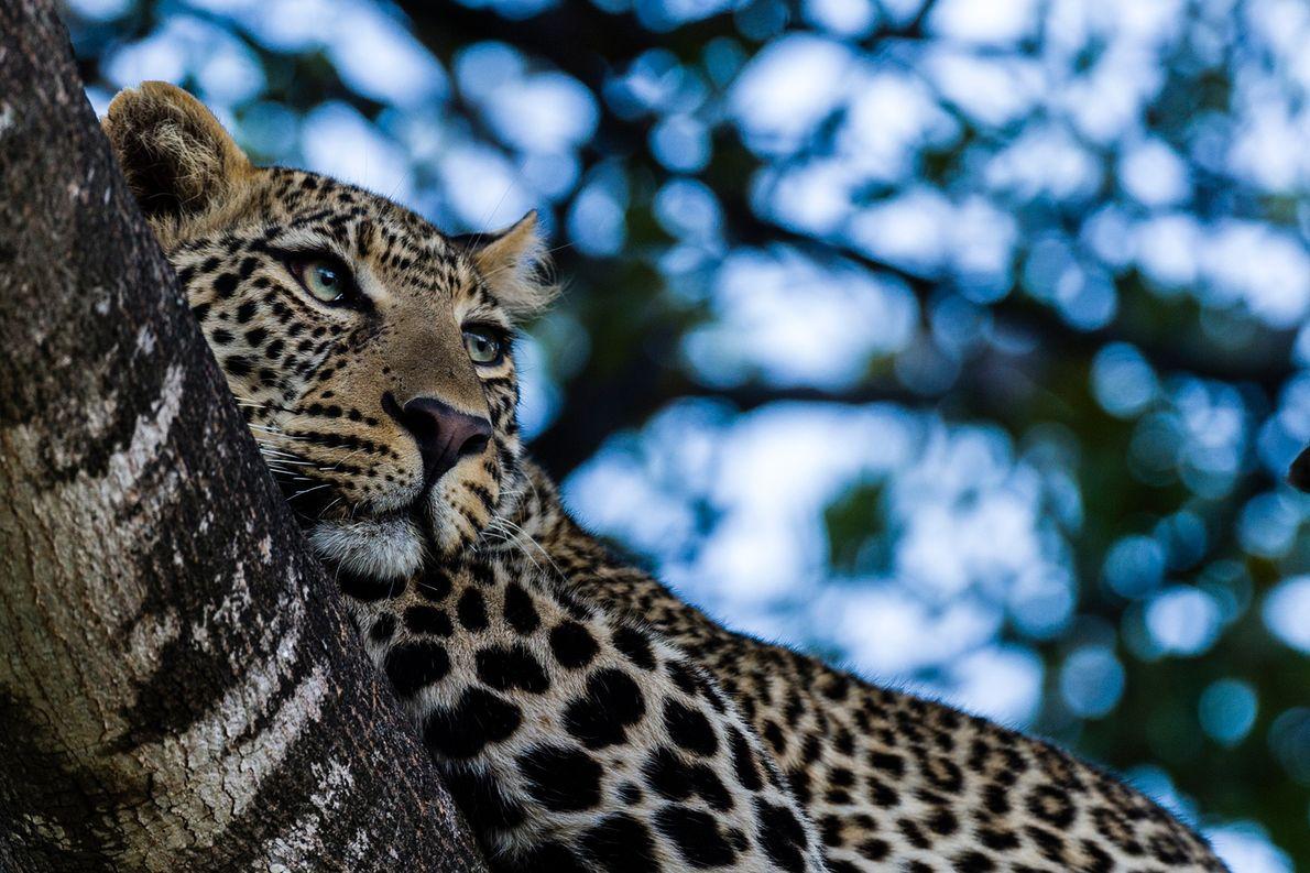 Los leopardos, como este de Kenia, son excelentes trepadores de árboles y suelen comerse a sus …