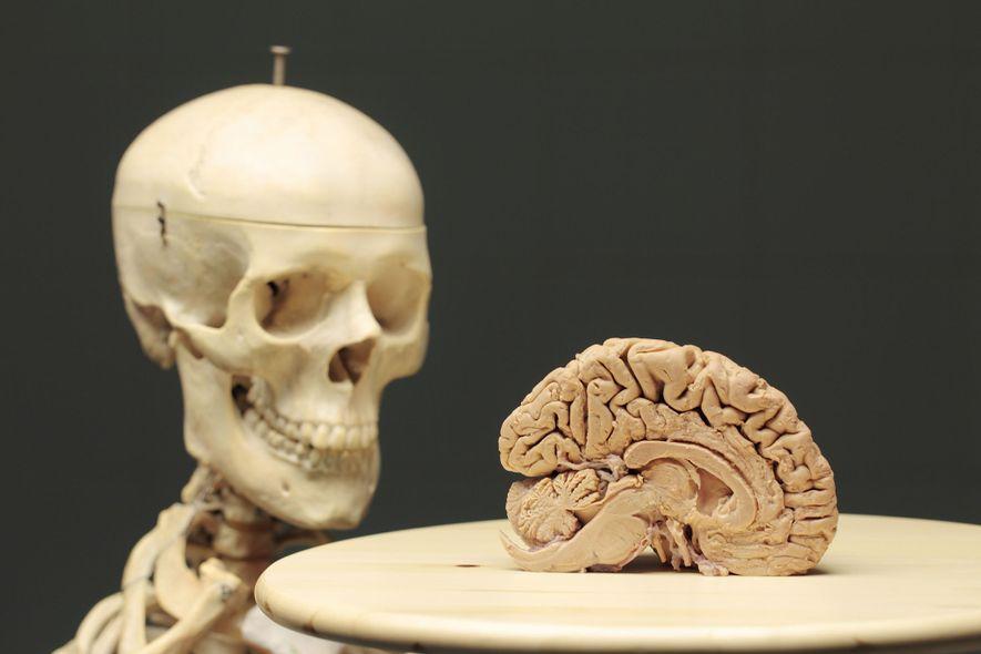 Cerebro humano junto a una réplica de plástico de un esqueleto humano.