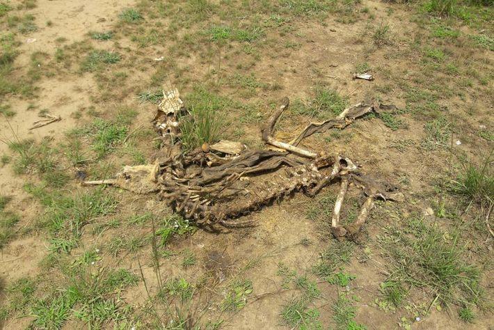 Cadáver de león