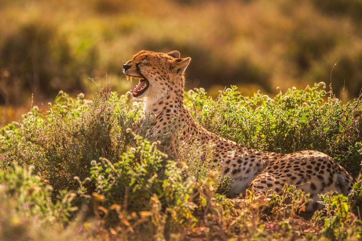 Un guepardo hembra bosteza mientras sale el sol en Ndutu, parte del área de conservación del …