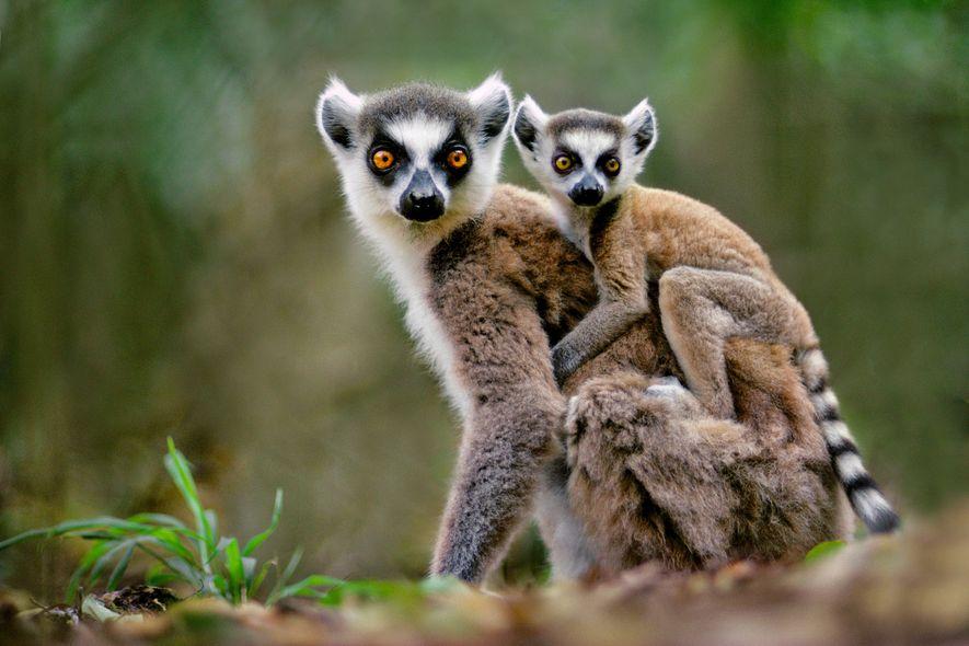 Los lémures de cola anillada están muy demandados como mascotas pese a que su comercialización es ilegal.