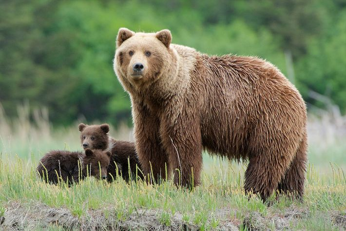 Una madre grizzly