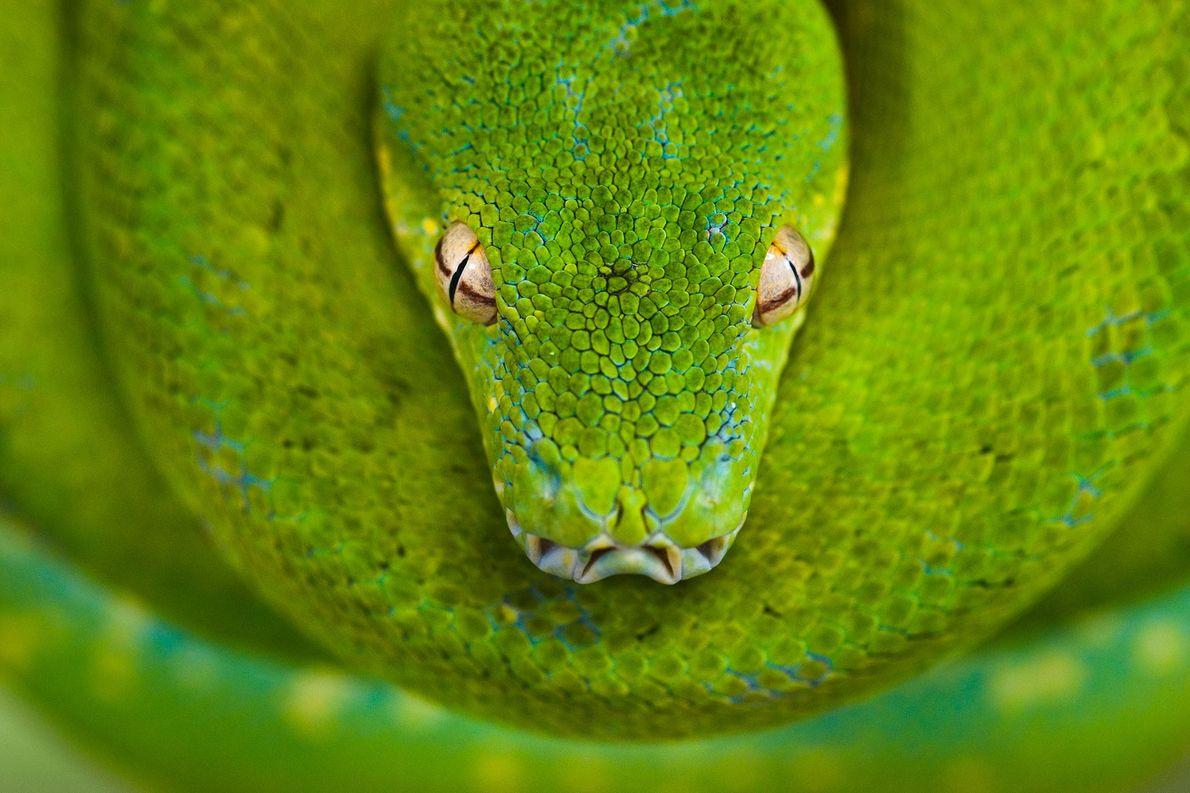 Una pitón arborícola verde enrollada en el Parque de Reptiles Australianos en Nueva Gales del Sur, …