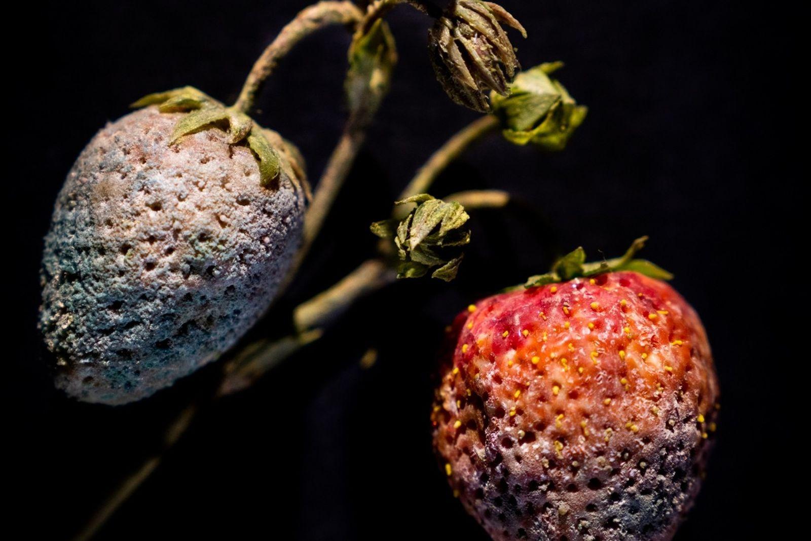 Fresas con hongo Botrytis