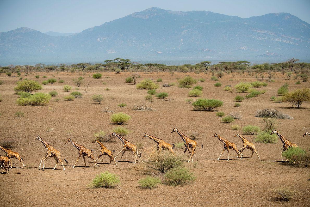 Se cree que la caída en el número de ejemplares de jirafa está provocado por la ...