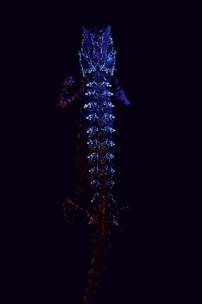 Un Brookesia thieli fluorescente