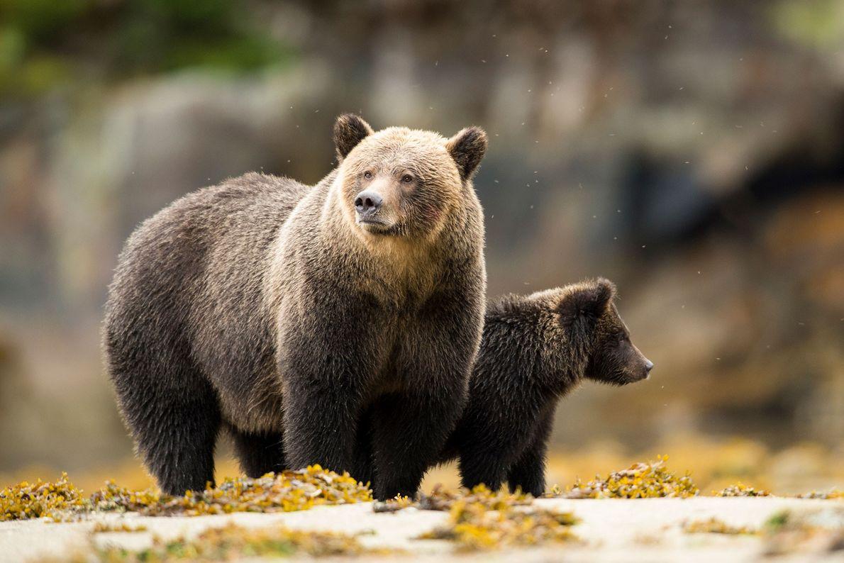Una madre de oso gris junto a su osezno