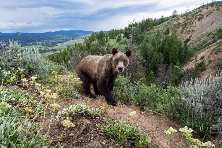 Fotografía de un oso grizzly en el parque nacional Bridger-Teton
