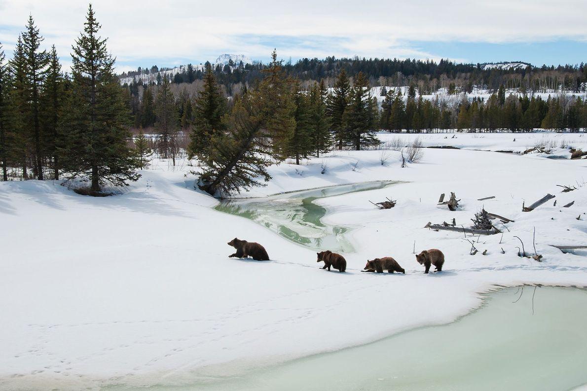 La osa grizzly 399 y sus tres oseznos cruzan el Buffalo Fork, en el parque nacional …