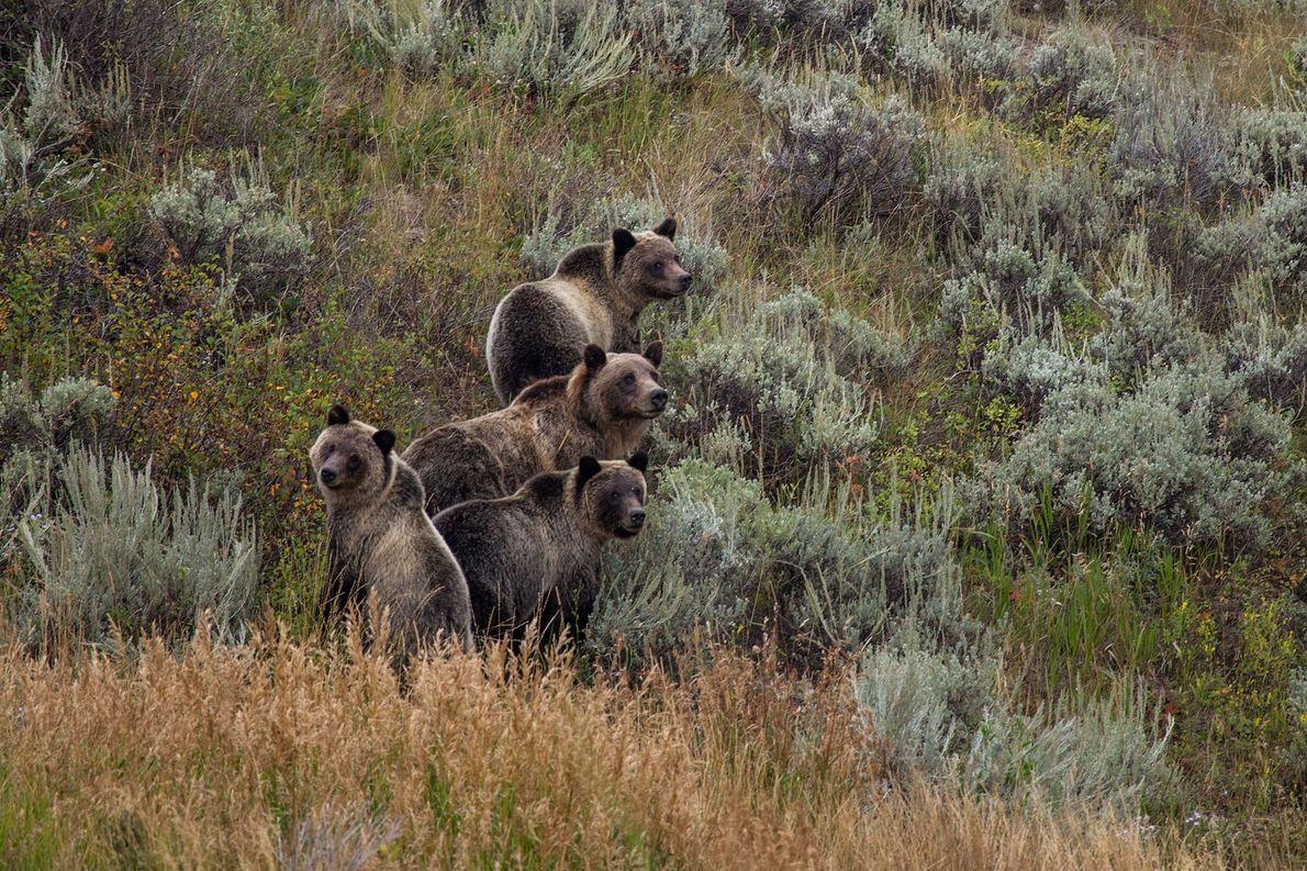 Una osa grizzly con sus oseznos