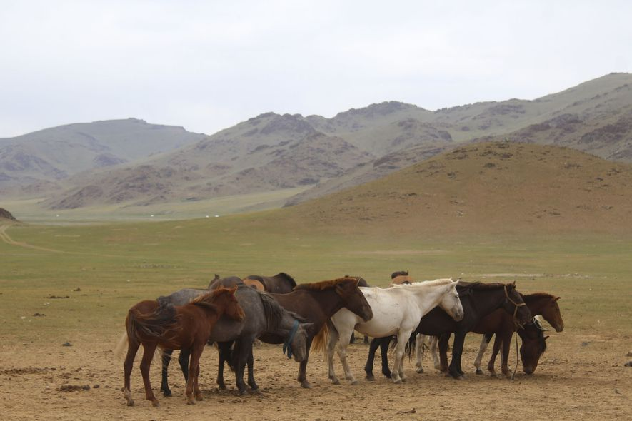 Los caballos se congregan en Mongolia central. Los científicos creen que el caballo se domesticó por ...