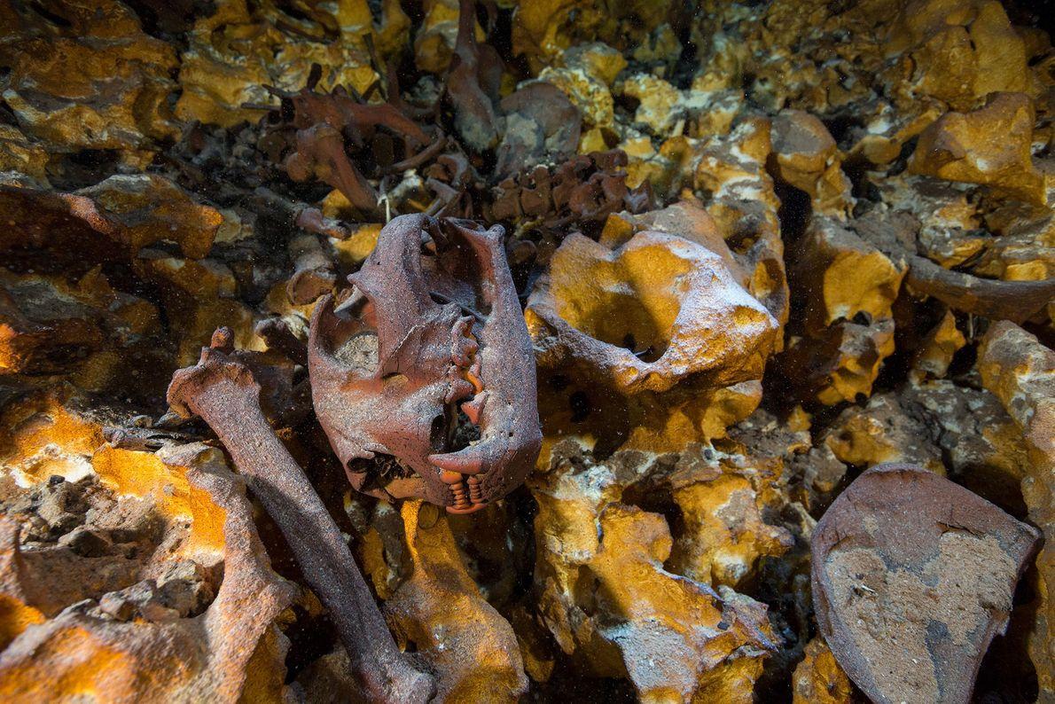 El cráneo de un puma