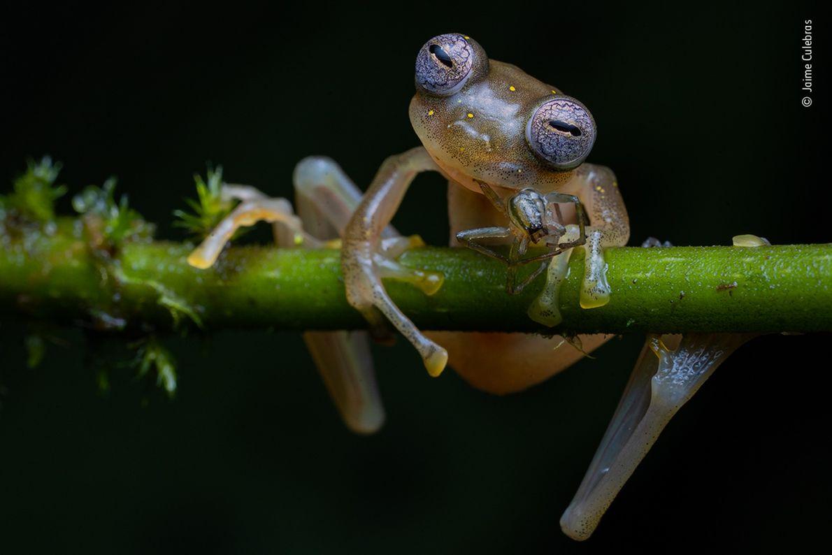 Una rana de cristal de Manduriacu devora una araña