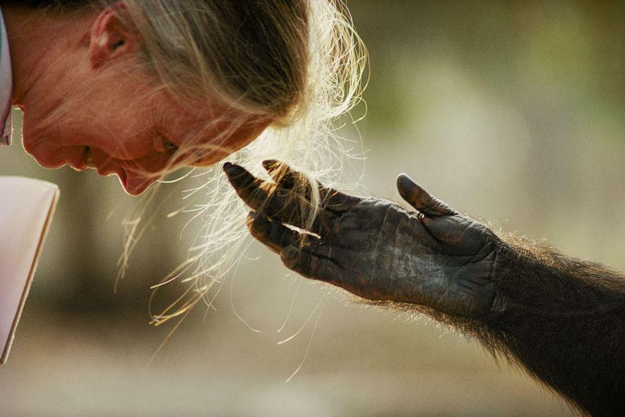 Durante un viaje para crear conciencia sobre los chimpancés en cautividad, Jane Goodall interactúa con un ...