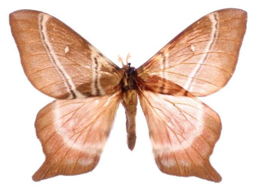 Algunas polillas de seda, como esta Urota sinope, han desarrollado colas cortas como defensa contra los ...
