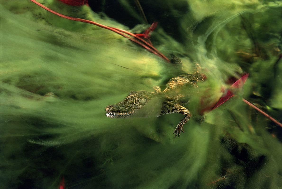 Una cría de cocodrilo del Nilo