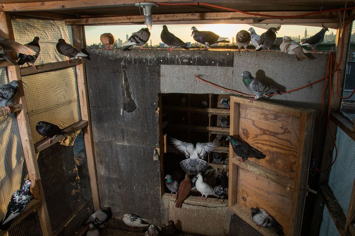 Pigeons settle in their loft for the night. Flock upkeep is expensive: flyers can spend thousands ...