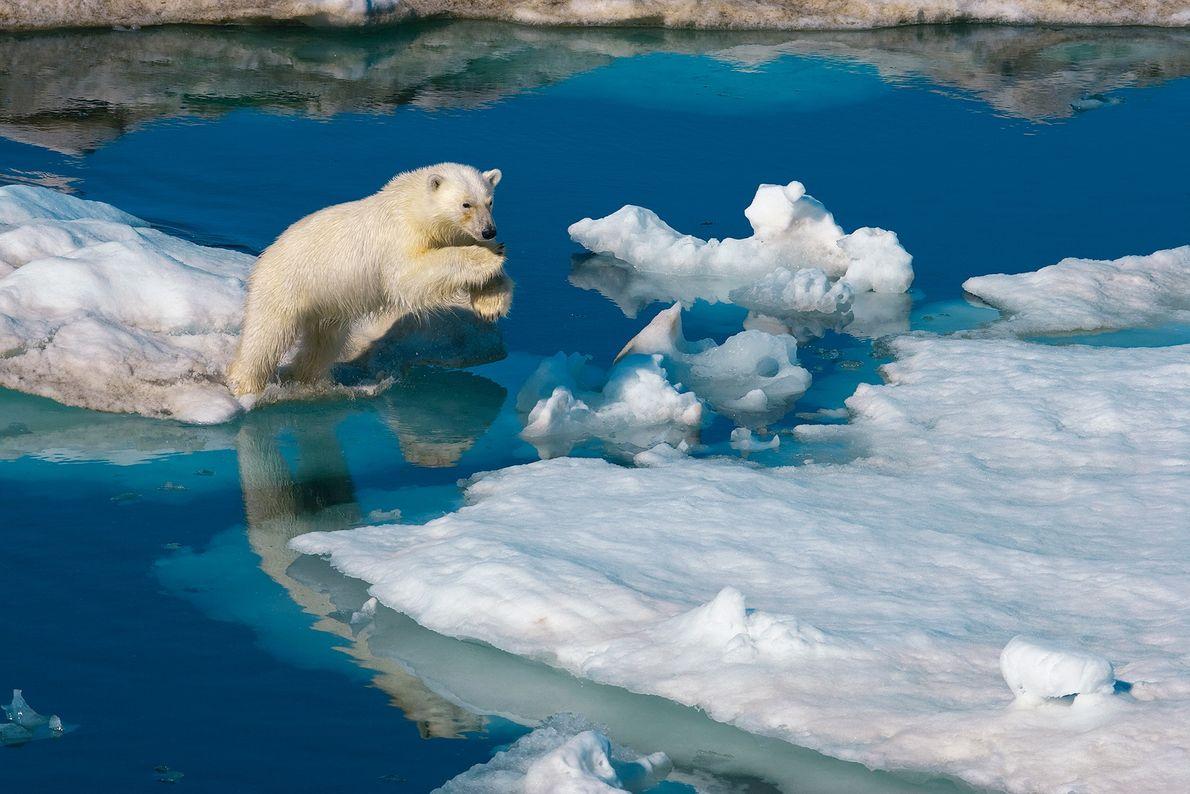 Un oso polar macho