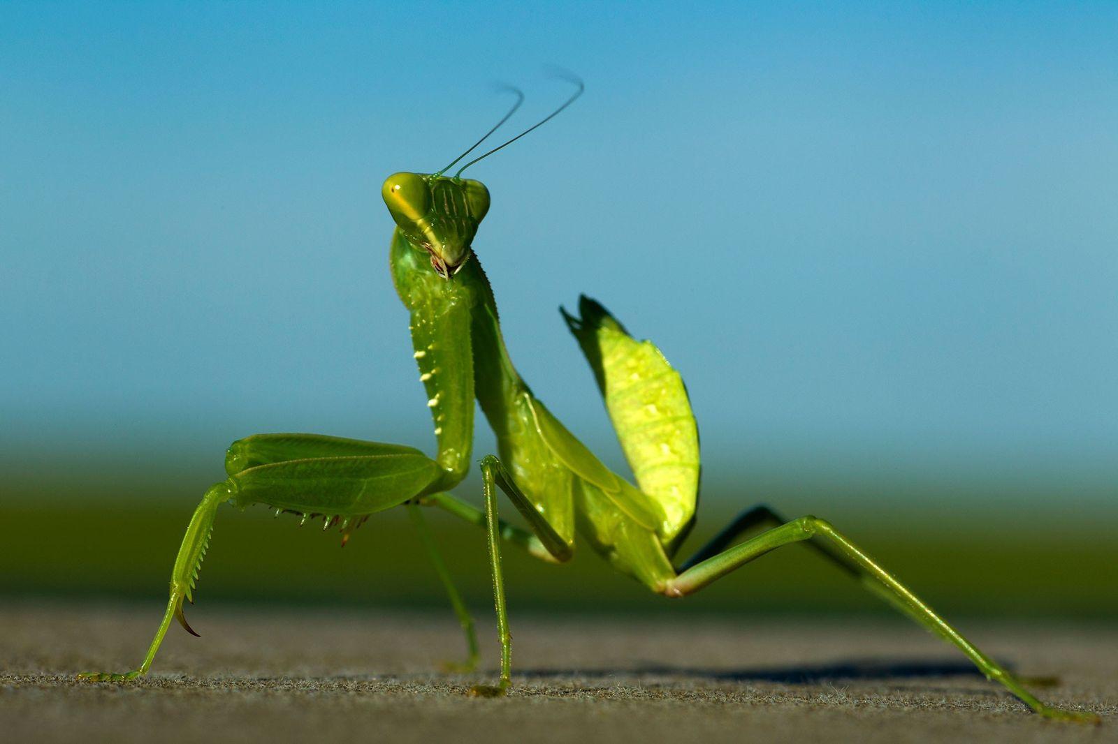 La mantis religiosa