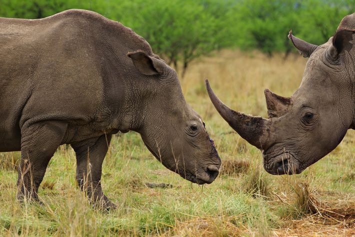 Rinocerontes blancos hembra y macho