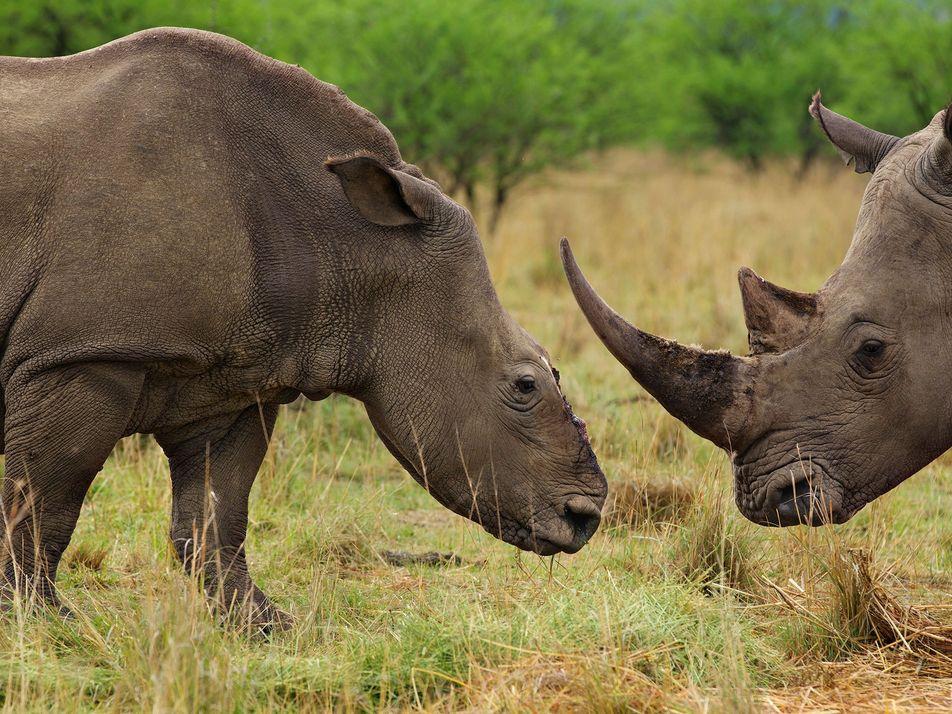 China congela su decisión de legalizar el cuerno de rinoceronte y el hueso de tigre
